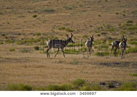 --Antelope Ponghorn