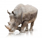 pic of naturalist  - Portrait of a rhinoceros on white background - JPG