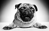 Black and white closeup portrait of a pug with large staring protruding eyes and a cute frown lying