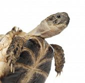 stock photo of russian tortoise  - Young Russian tortoise - JPG