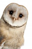 pic of owls  - Barn Owl - JPG