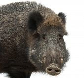 picture of wild hog  - Wild boar - JPG