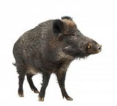 stock photo of wild hog  - Wild boar - JPG