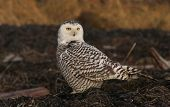 image of hedwig  - A young snowy owl is sitting on the ground looking at a prey in the Delta wetlands in BC - JPG