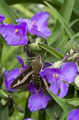 picture of hawk moth  - Spurge Hawk - JPG