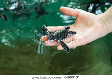 Newly Hatched Baby Turtle In Humans Hands At Sea Turtles Conservation Research Project In Bentota, S