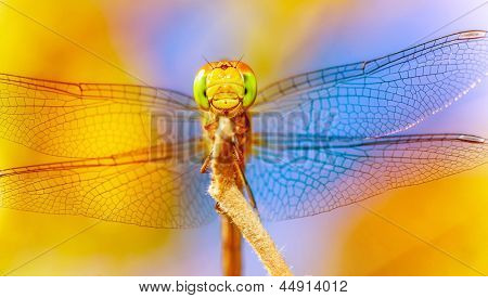 Closeup of beautiful dragonfly on blue and yellow background, transparent wings, tiny insect, wild nature