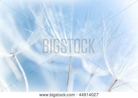 Macro of abstract dandelion background, nature detail, spring season, blooming flowers, soft focus