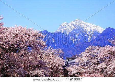 Cherry Tree And Snow Mountain