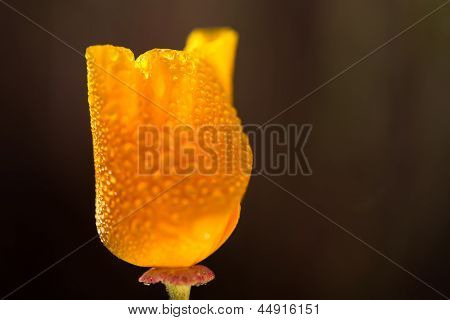 California Poppy - Horizontal