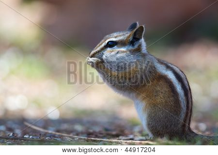 Colorado Chipmunk (neotamias Quadrivittatus)