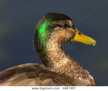 Mallard Duck In Profile