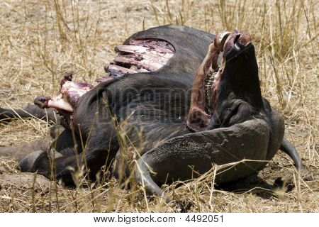 Dead Cape Buffalo