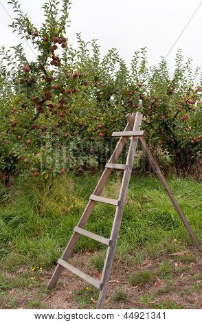Ladder In Apple Orchard