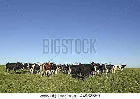 Black And White Cows On A Farm In Rural America.