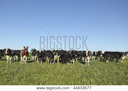 Cows Grazing In The Pampas.