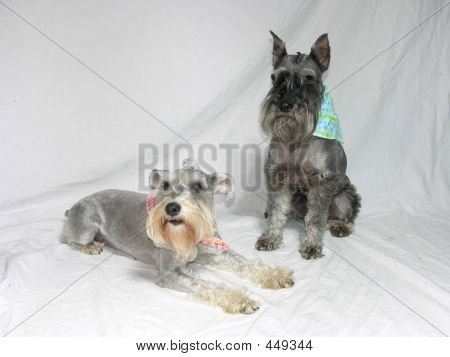 Two Miniature Schnauzers