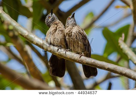 Curious Brown Babblers