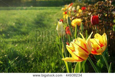 Doppelte Tulpen