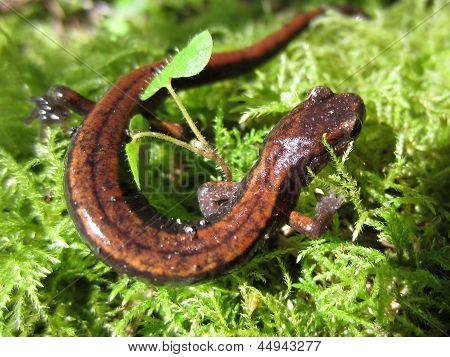 Western Redback Salamander on Moss