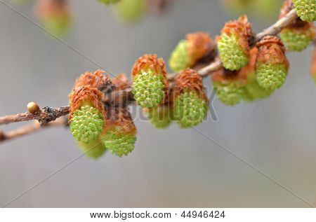 Blooming larch in the spring time. Close up macro photo