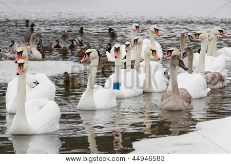 Swans  And Ducks On The River In The Cloudy Winter Day