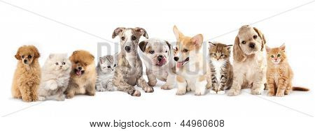 Group of Puppies and  kitten of different breeds, cat and dog