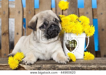 pug puppy and spring dandelions flowers