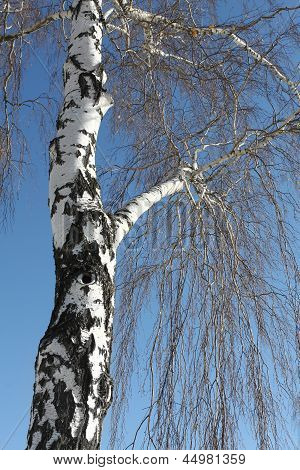 Trunk Of Birch