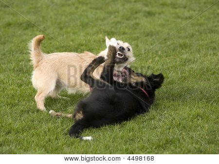 Dogs - Fighting For Fun
