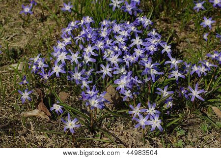 Blue flowers on the meadow