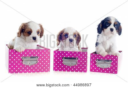 Cavalier King Charles In Box