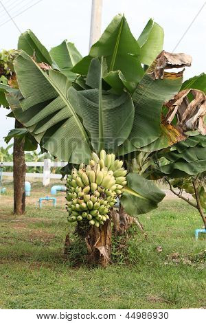 Young Banana Tree With Bananas