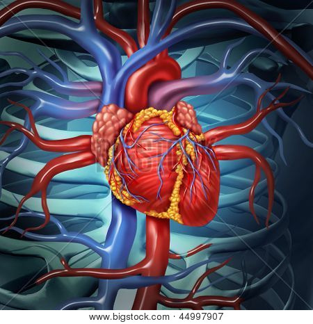Cardiovascular Human Heart