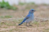 stock photo of bluebird  - Mountain Bluebird standing in grass field - JPG