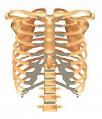 stock photo of spinal column  - Thorax - JPG