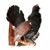picture of taxidermy  - stuffed capercaillie Wood Grouse on white taxidermy - JPG