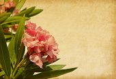 foto of oleander  - Old paper with pink flowers - JPG