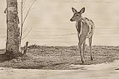 picture of black tail deer  - black and white - JPG
