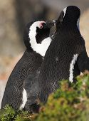 image of jackass  - Jackass Penguins  - JPG