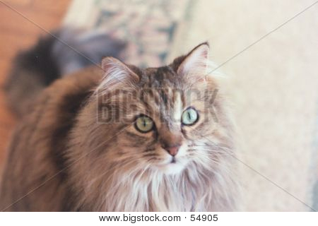 Long-haired Wide Eyed Cat.
