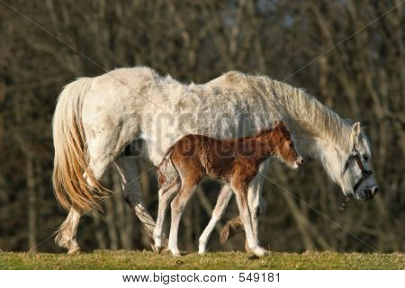 Baby Foal And Mother