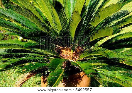 Japanese Sago Palm.