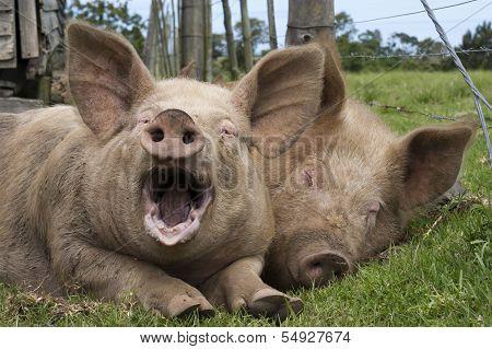 Yawning Pig