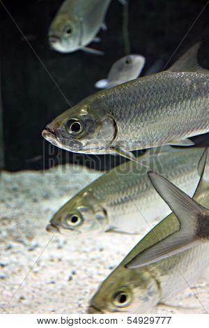 Atlantic Tarpon Fish In Aquarium.