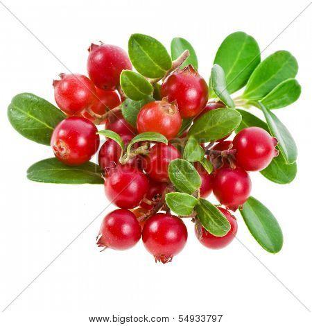 Cowberry Lingonberry (Vaccinium vitis-idaea) isolated on white background