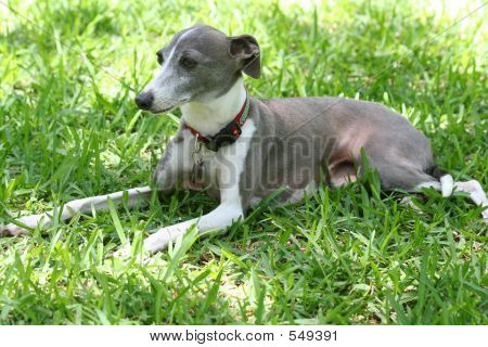 Greyhound In The Grass