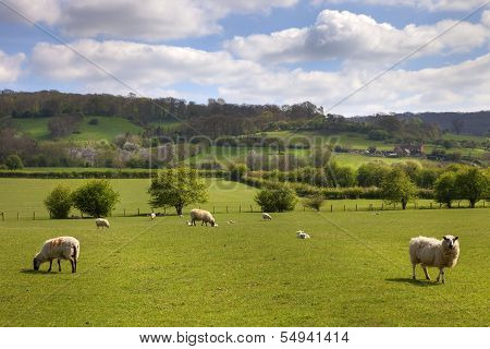 English Pasture With Grazing Sheep