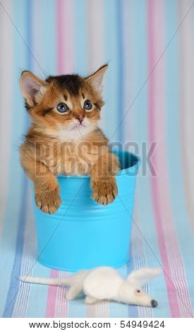 Cute Somali Kitten In A Bucket With Mouse
