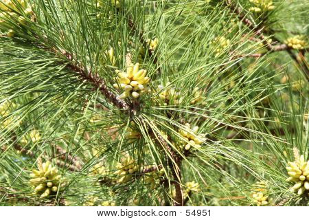 Budding Pine Tree